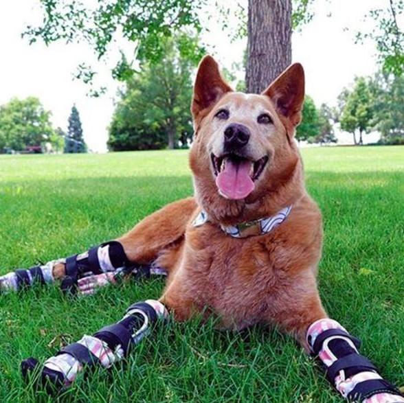 El primer perro con prótesis biónicas en sus cuatro patas